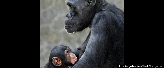 La Zoo Chimp Baby Death