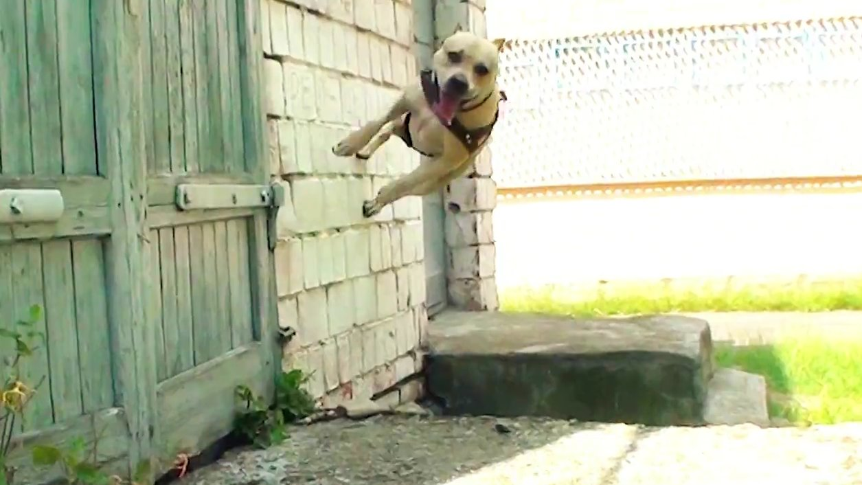Tret The Parkour Dog From Ukraine Amazes With His Free