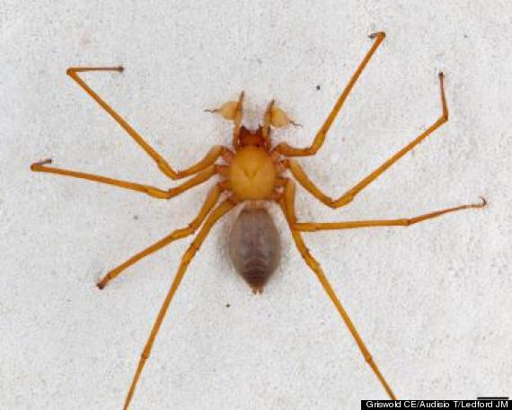 massive new spider discovered
