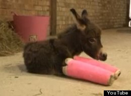 Premature Baby Donkey Wears Adorable Pink Casts Until Legs Are Strong Enough