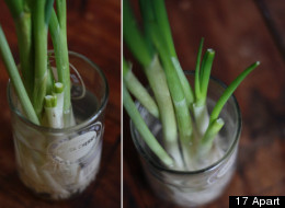 Growing Green Onions