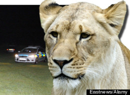 PHOTO: Essex Lion Is Found