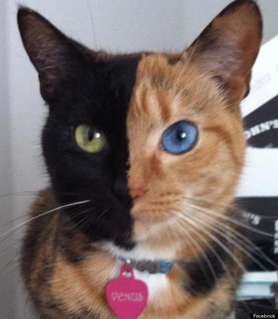 Chimera Cat Called Venus Has 'Two Faces' (PICTURES, VIDEO)