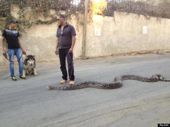 guy walks snake