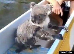 Koala Swims Canoe