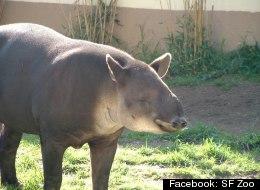 PHOTOS: San Francisco Zoo's Beloved Tapir Found Dead