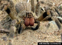 Spider Venom Erectile Dysfunction