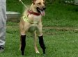 Pay De Limon, Dog Who Had Paws Cut Off By Mexican Drug Cartel, Gets Prosthetic Limbs (VIDEO)