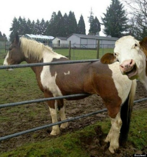 cow photobombs horse