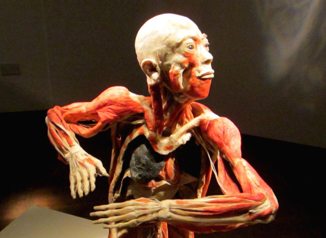 bodies revealed: exhibition featuring preserved human bodies on, Muscles