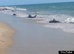 Beached Pilot Whales St Lucie Fort Pierce Florida