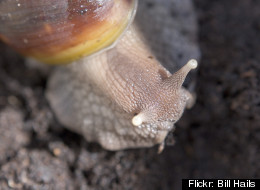 Giant African Land Snails Miami