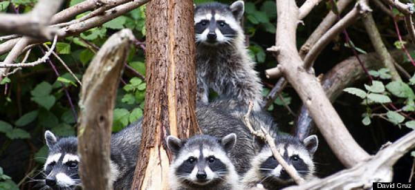 Raccoons In Golden Gate Park Adorable Kits Captured