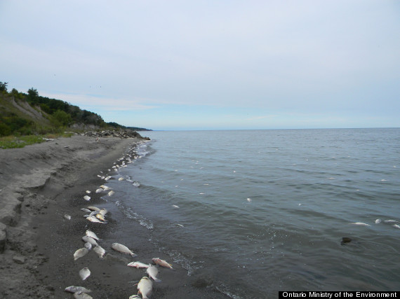 fish kill lake erie