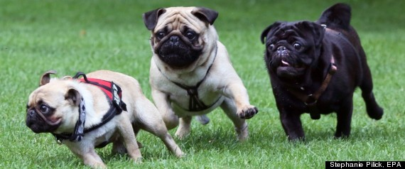 GERMAN PUG RACES