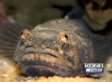 Seattle 'Hum' May Be Due To Midshipman Fish That Produce Sound For Mating (VIDEO, AUDIO)