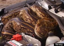 Python Under Car Hood