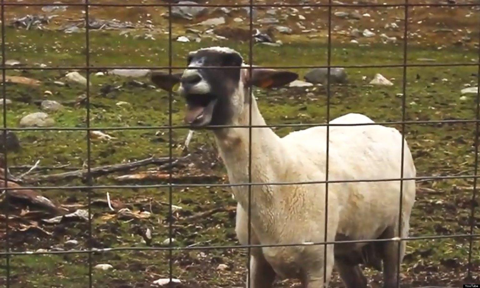 Трахать овечек игра 17 фотография