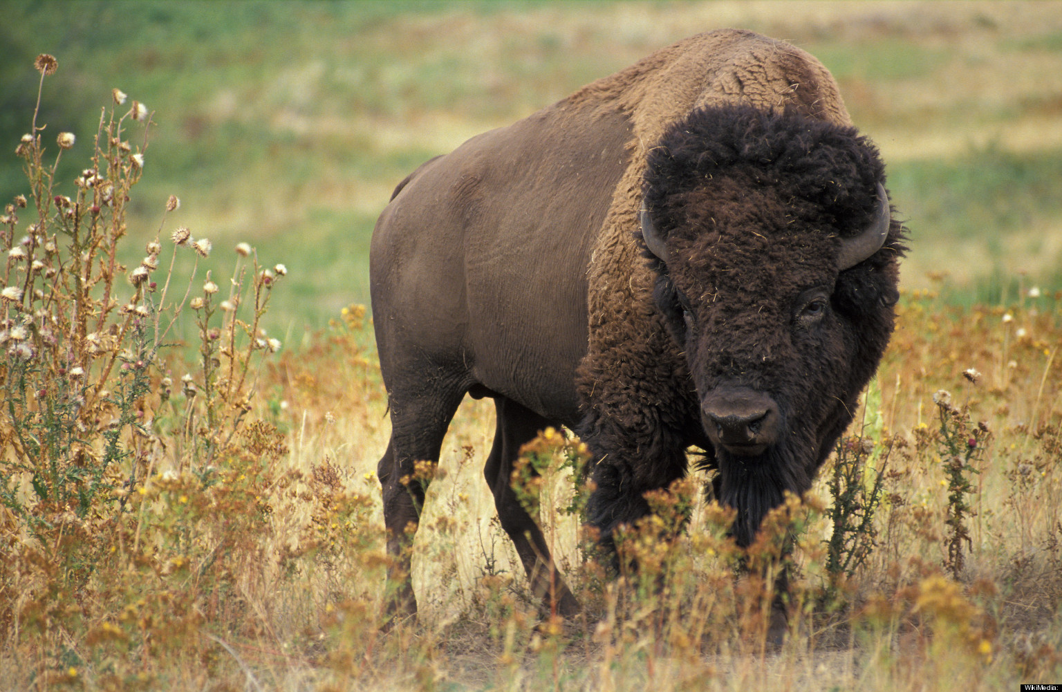 Bison Charging Bison Charges At Child At