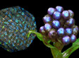 Pollia Condensata Fruit Produces Rainbow Colors, Is Shiniest Living Thing On Earth