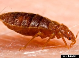 Bed Bug Remedies
