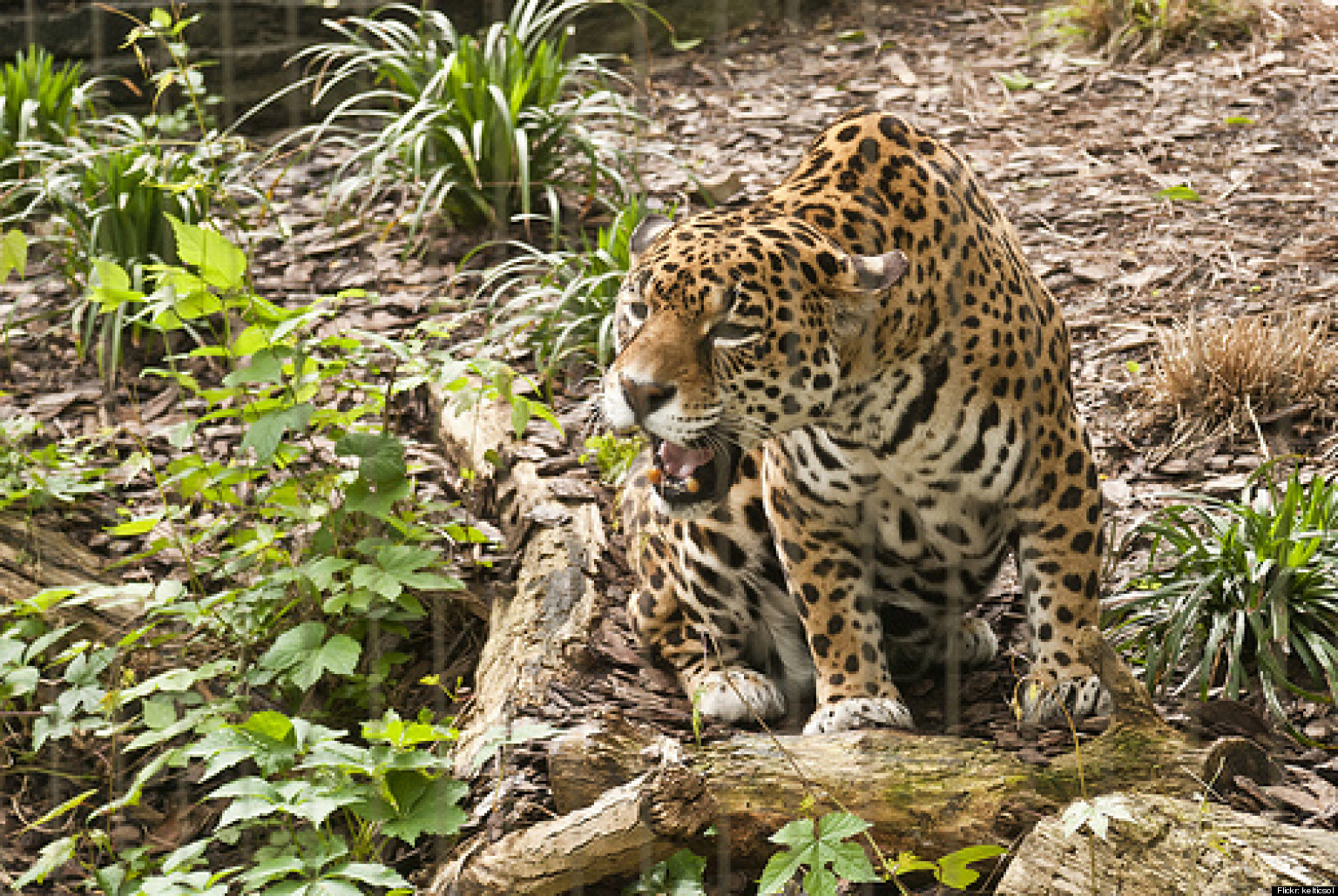 Jaguar animal eating - photo#20