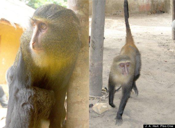 nueva especie de mono 2012