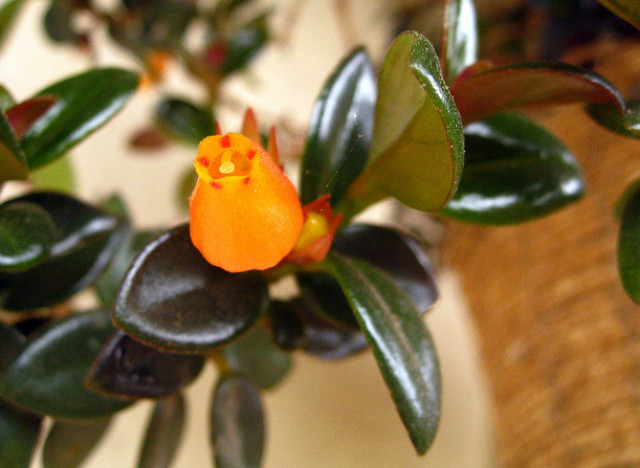 Sprout Home Plant Of The Week Goldfish Plant Huffpost