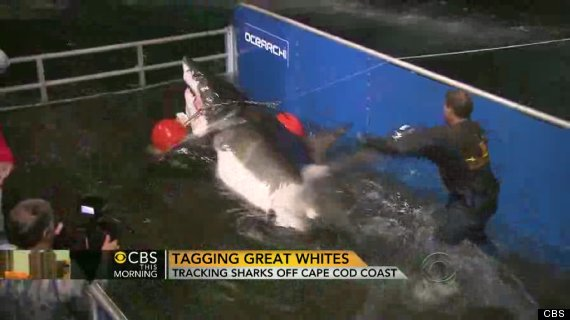 cape cod great white sharks