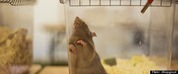 RAT OGM
