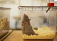 Étude: les rats nourris pendant deux ans avec un maïs OGM  meurent plus jeunes et souffrent plus souvent de cancers