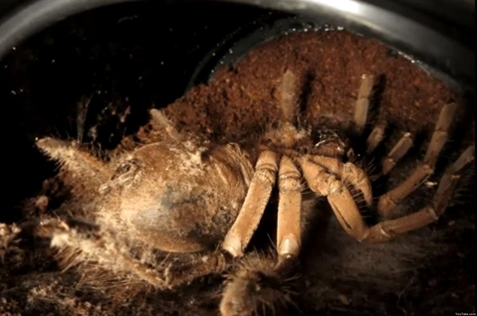 Giant spider eating bird - photo#50