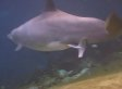 Keo, Mother Dolphin, Gives Birth To Female Calf At Dolphin Quest Hawaii (VIDEO)