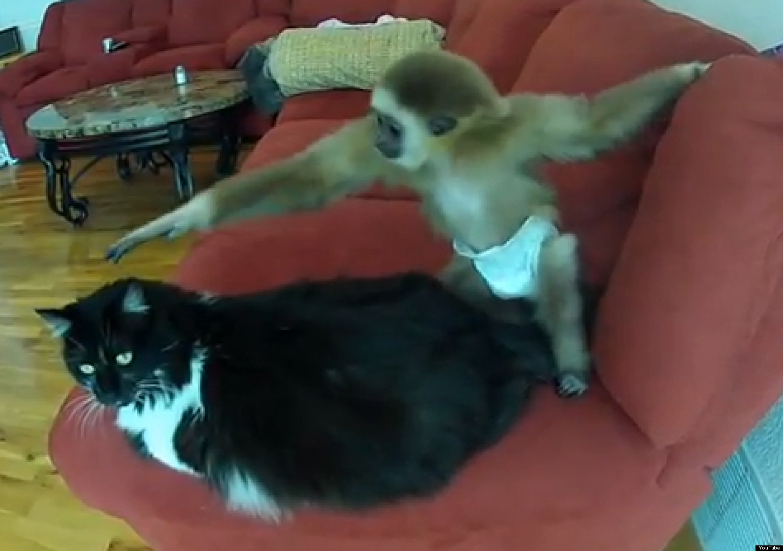 Baby Gibbon Plays With Grumpy Cat Video Huffpost
