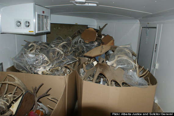 antlers seized