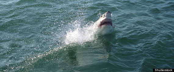 GREAT WHITE SHARK AUSTRALIA