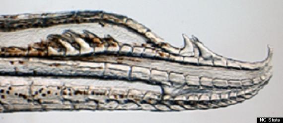 llanos mosquitofish penis