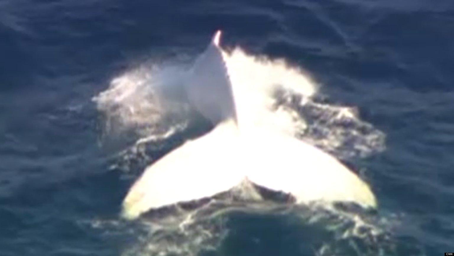 Albino Blue Whale Albino Blue Whale