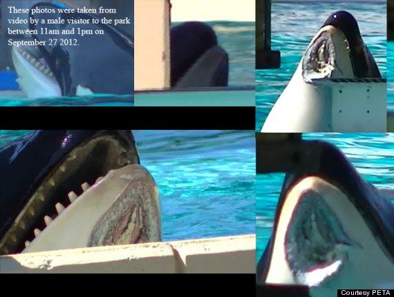 orca injured seaworld