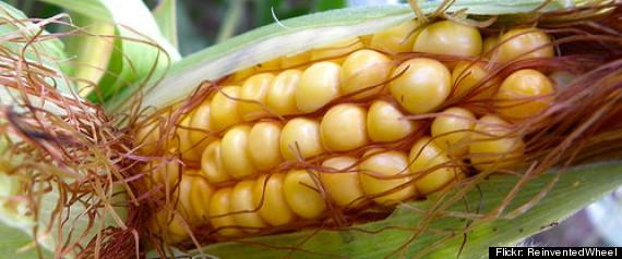 MAIS OGM SERALINI