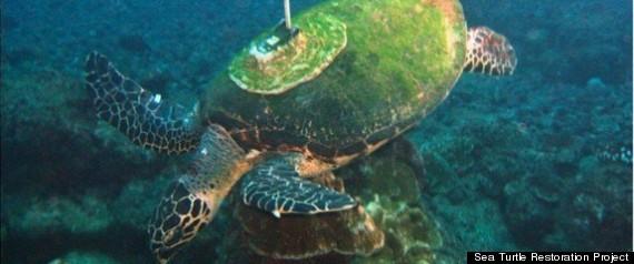 ENDANGERED GREEN SEA TURTLES
