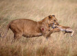 Lioness Befriends Baby Antelope After Killing Its Mother In Uganda (PHOTOS)
