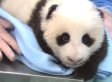 San Diego Zoo's Baby Panda Receives A Checkup (VIDEO)