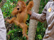 Baby Orangutan And Mother Saved From Starvation During Sumatra Rescue Mission