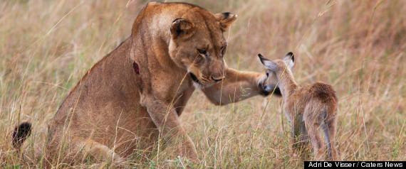 Lionne Antilope