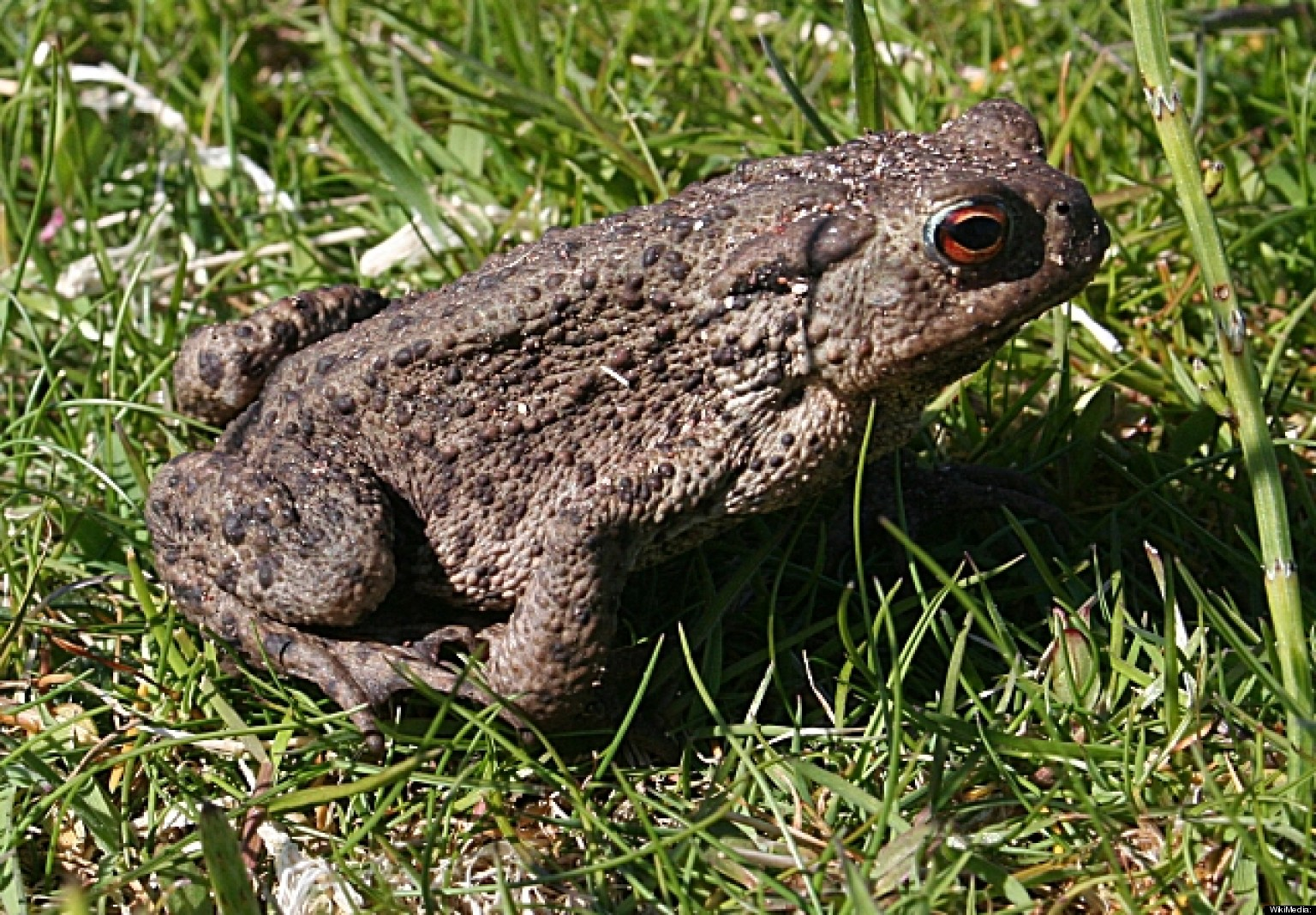 Bufo toad