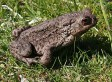 Toxic Bufo Toad Kills Dog In Florida, Poses Danger To Other Animals (VIDEO)