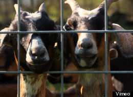 Eat Goats To Save Them: Help Dairy Farmers Give A Better End Life To Baby Male Goats (VIDEO)