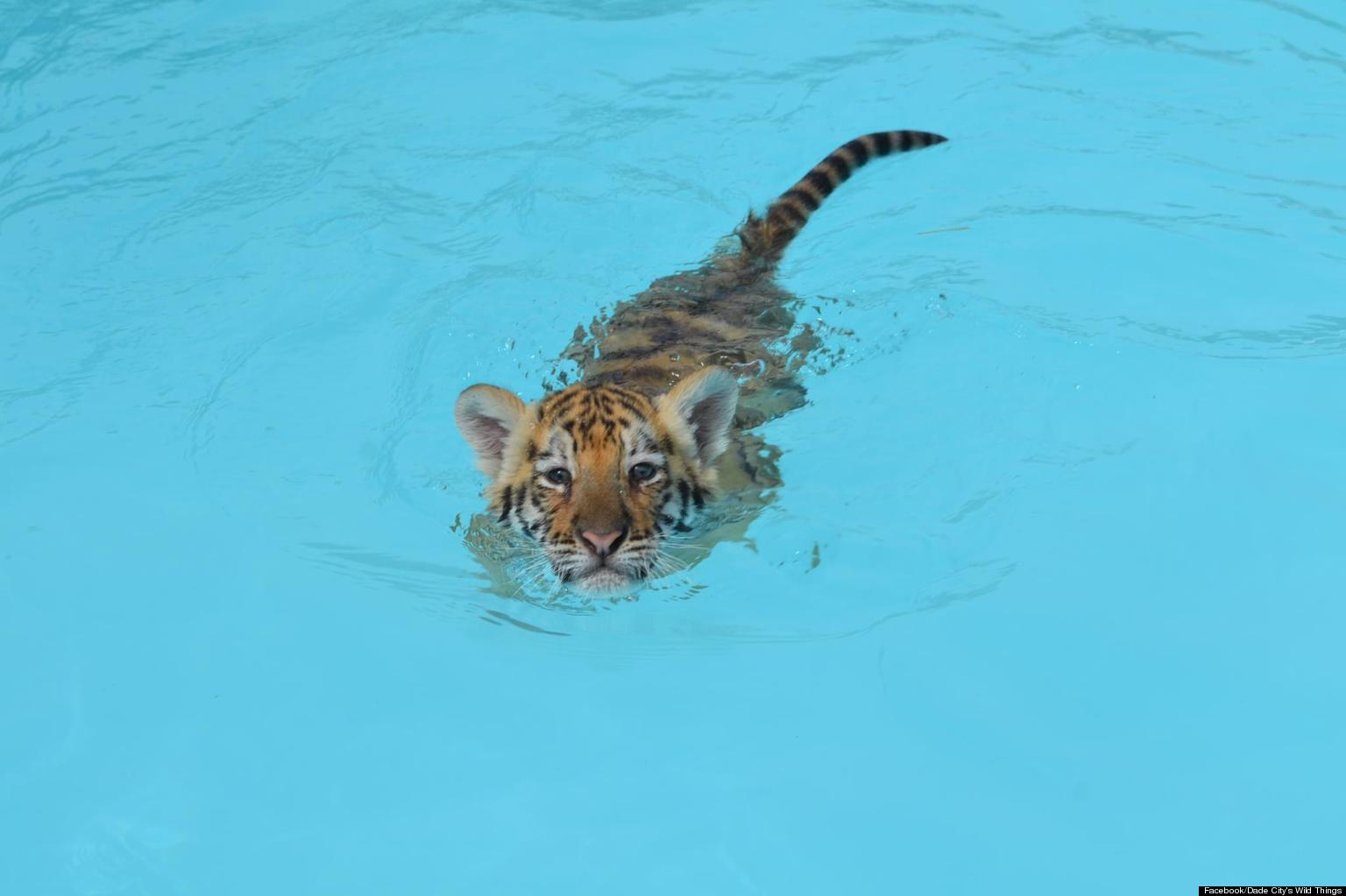 Swim With Big Cats At Dade Zoo S Tiger Pool Party In