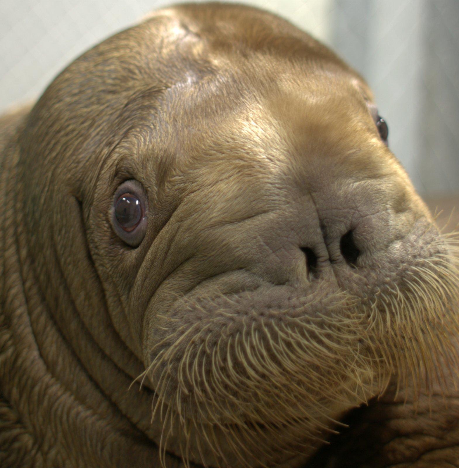 mitik walrus